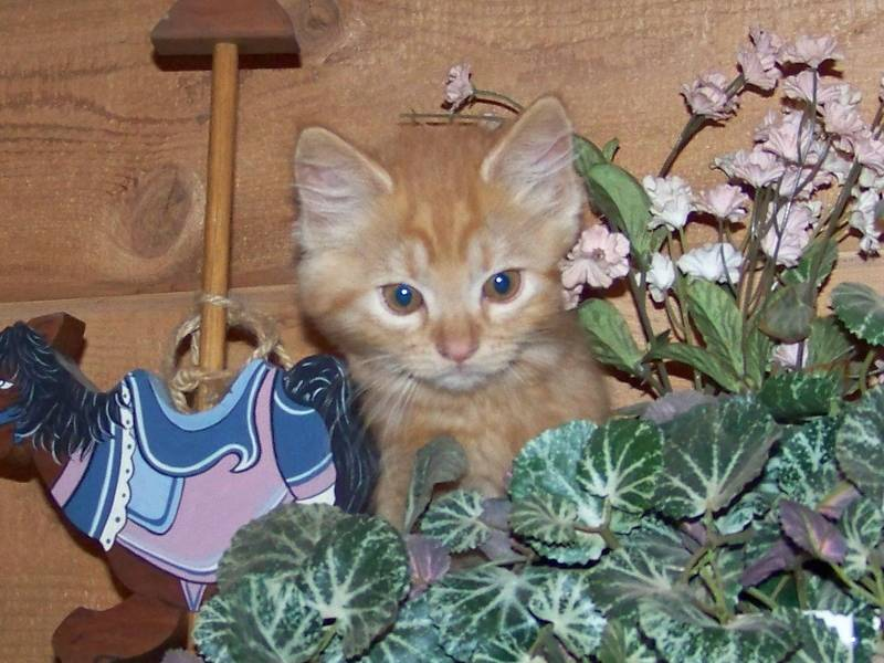 Mom Honey's orange tabby longhair Munchkin boy