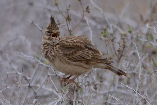 Maghreb Lark  (COCHEVIS A LONG BEC)