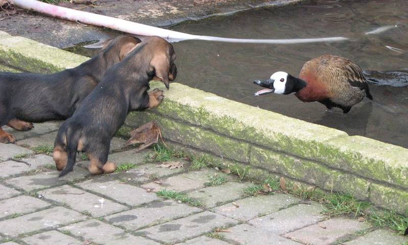 pups and duck