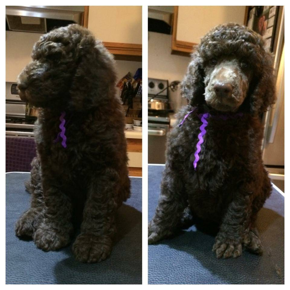 Purple before and after his first grooming.  47 days old.