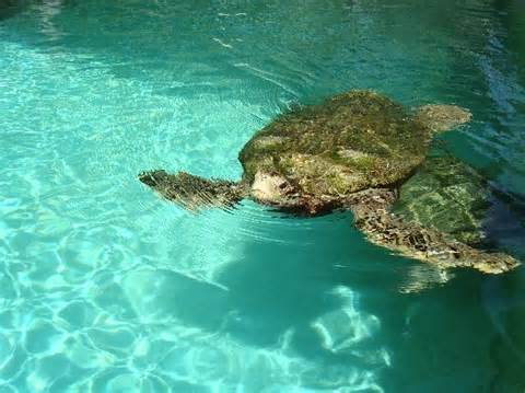 The Green Turtles