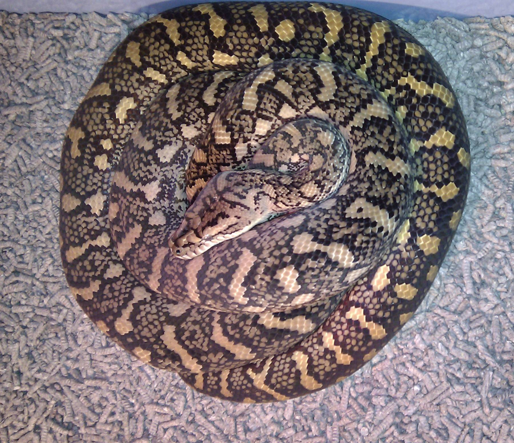Coastal Carpet Qld Female Breeder #1
