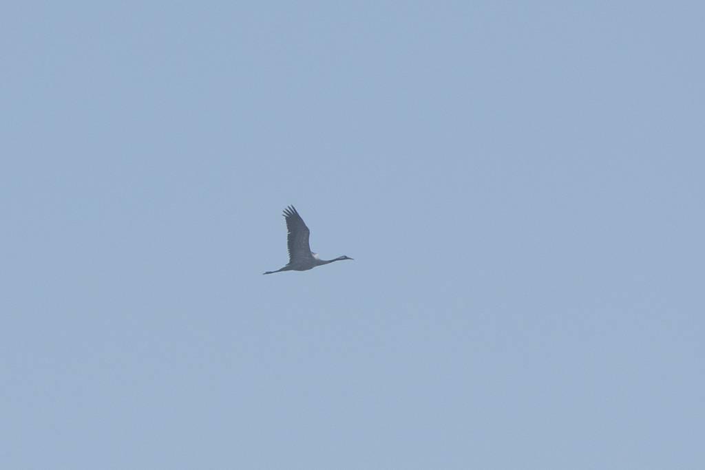Common Crane   (GRUE CENDREE)