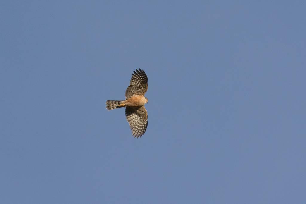 Plain-breasted Hawk