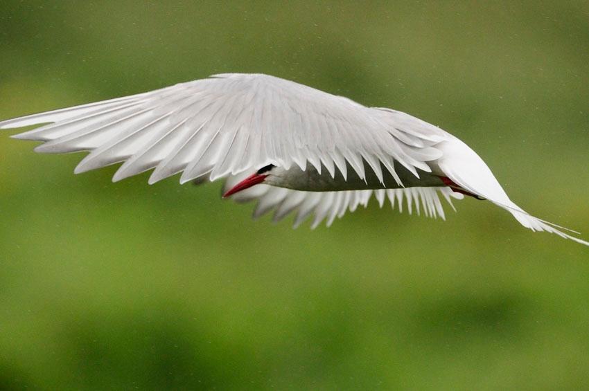 Sterne sous la pluie - Arctic tern in the rain