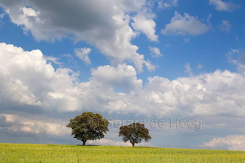 steeneiken in korenveld