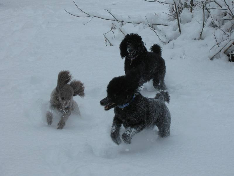 Amber, Maxwell, and Phoenix playing in the snow.  1/26/11.