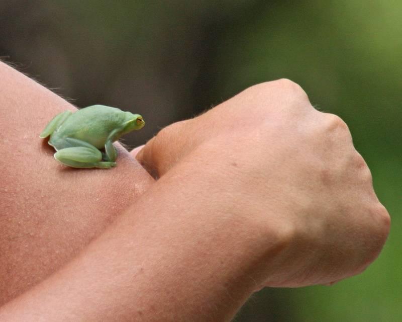Hatchet-faced Tree Frog