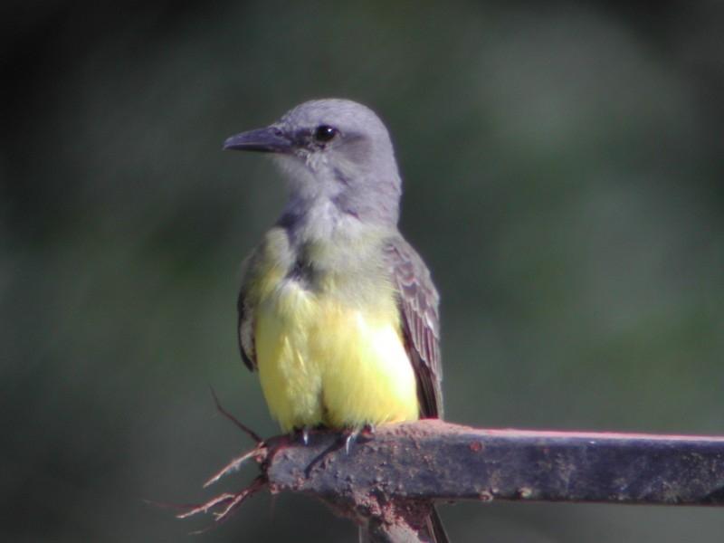 Tropical Kingbird (Tyran mélancolique)