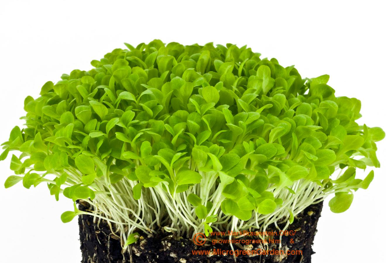 LETTUCE microgreens, Red Romaine, 10 days since sown