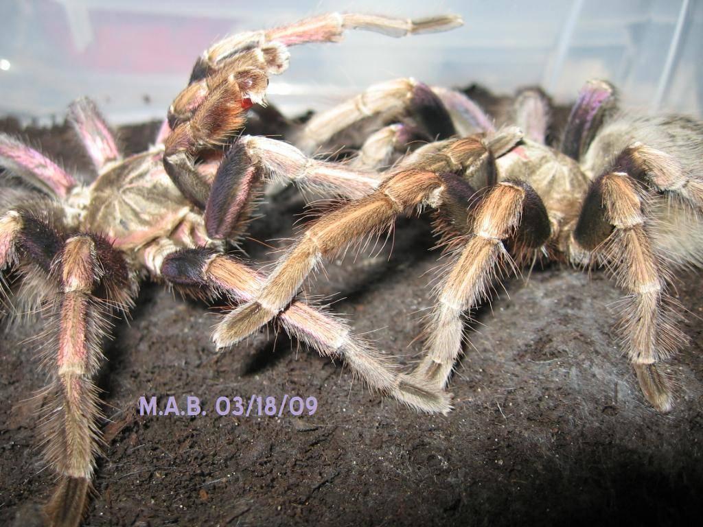Pamphobeteus ultramarinus Breeding 1