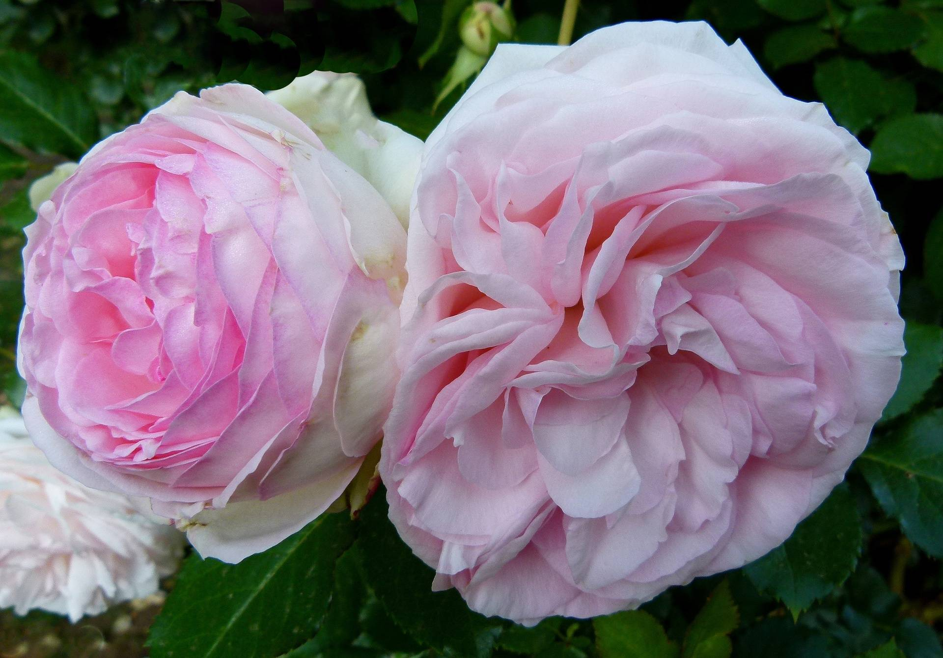 Roses at Millpond