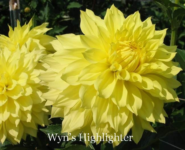 Wyn's Highlighter-A FD Y
