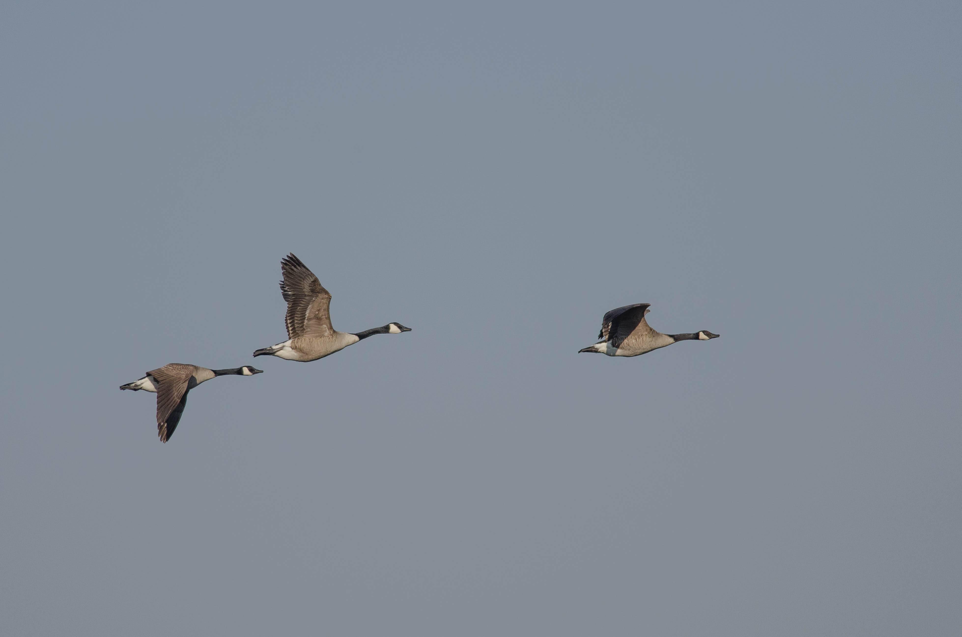 Canada Goose (Bernache du Canada)