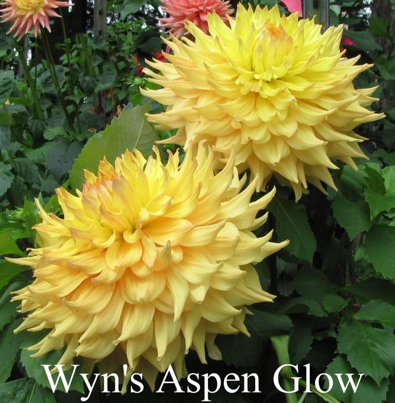 Wyn's Aspen Glow AA SC Lt.Bl. Bronze/Yellow