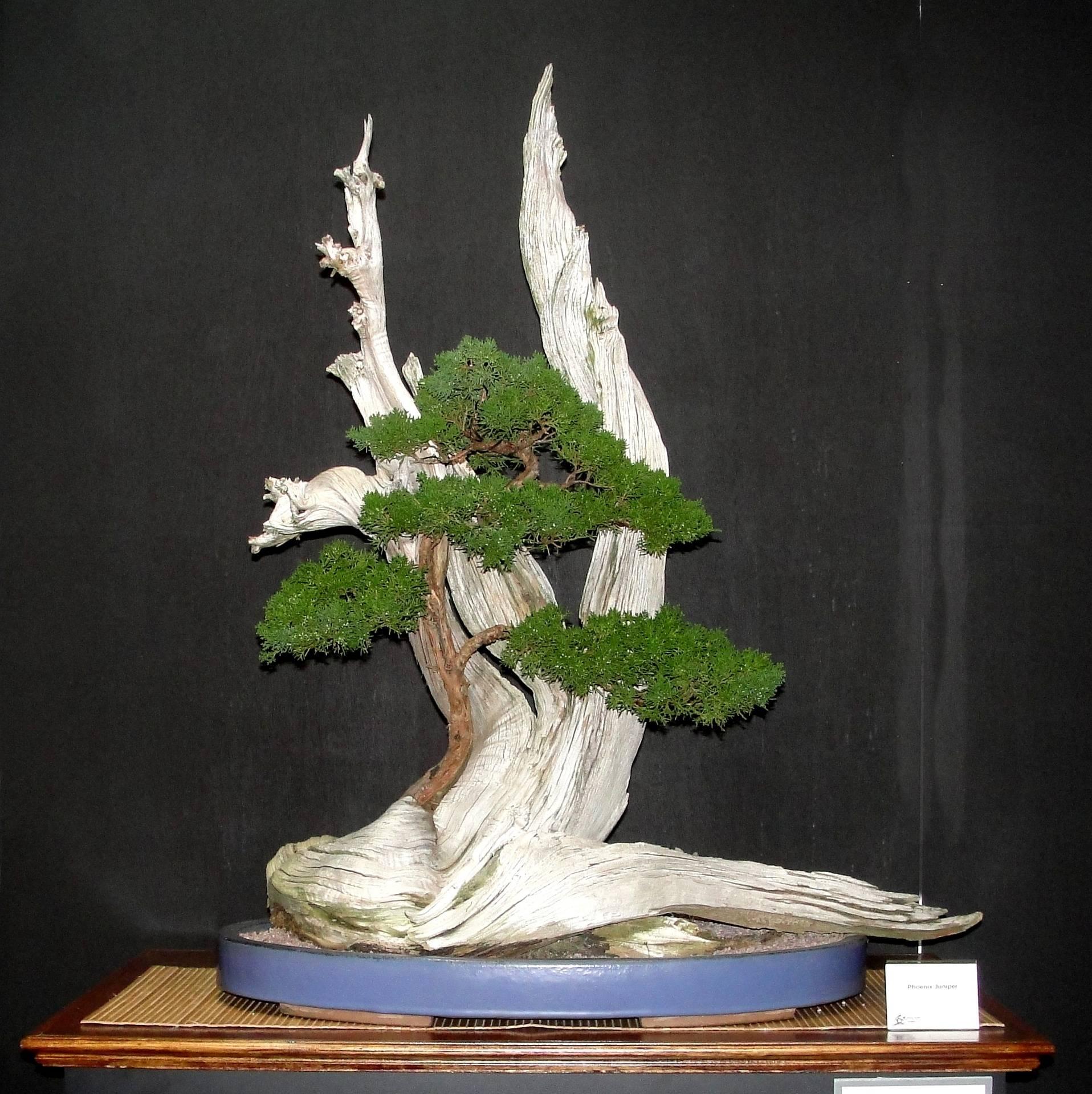 Phoenix Juniper