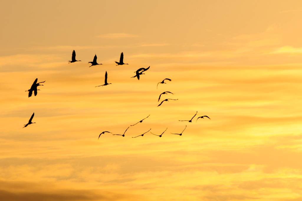 Vol de grues - Cranes in flight.