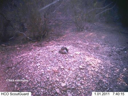 Emerging Malleefowl Chick