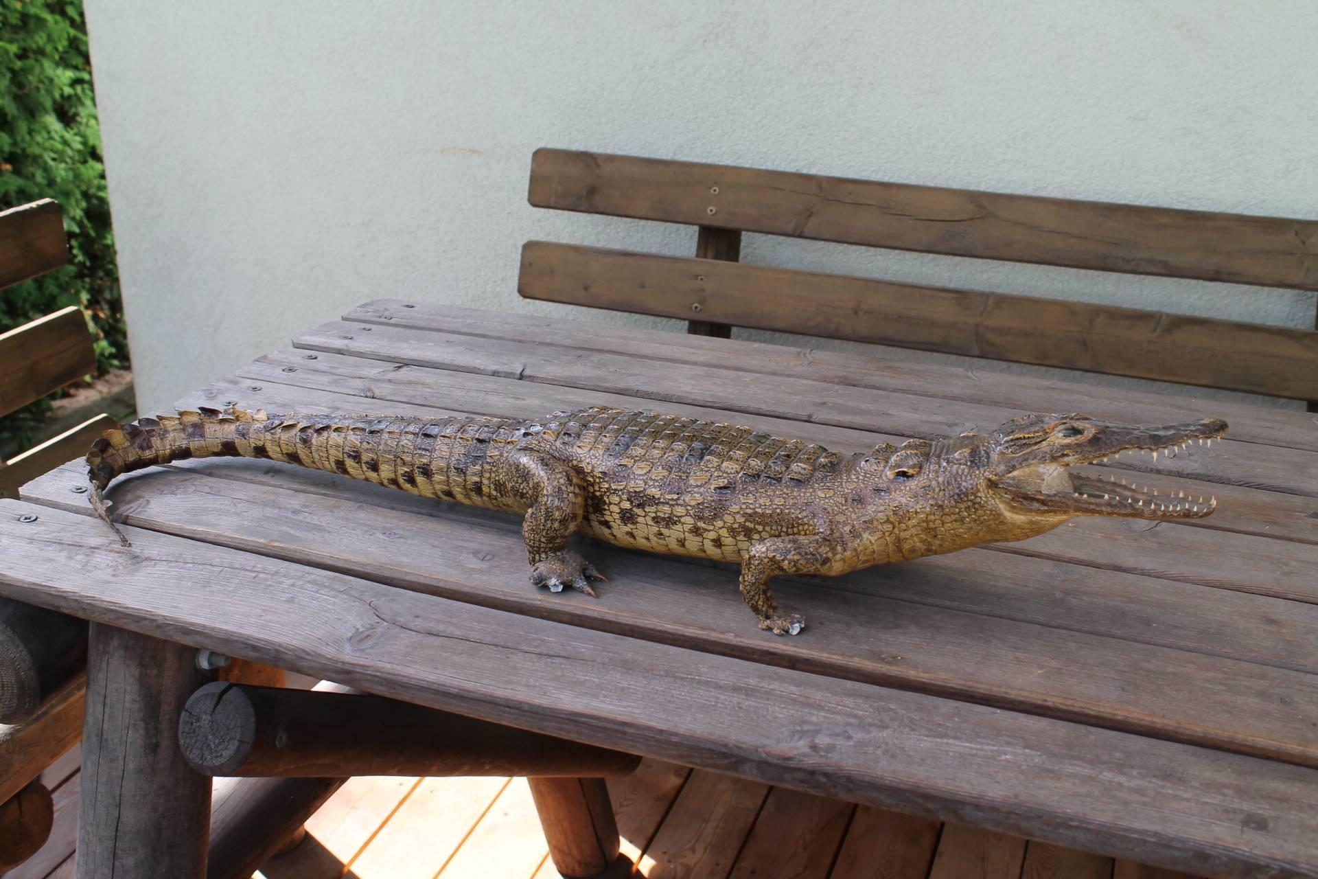 Antikvarine originali krokodilo iskamsa. Kaina 157