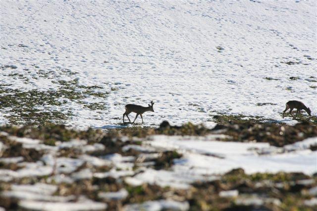 Roe deer (Denmark)