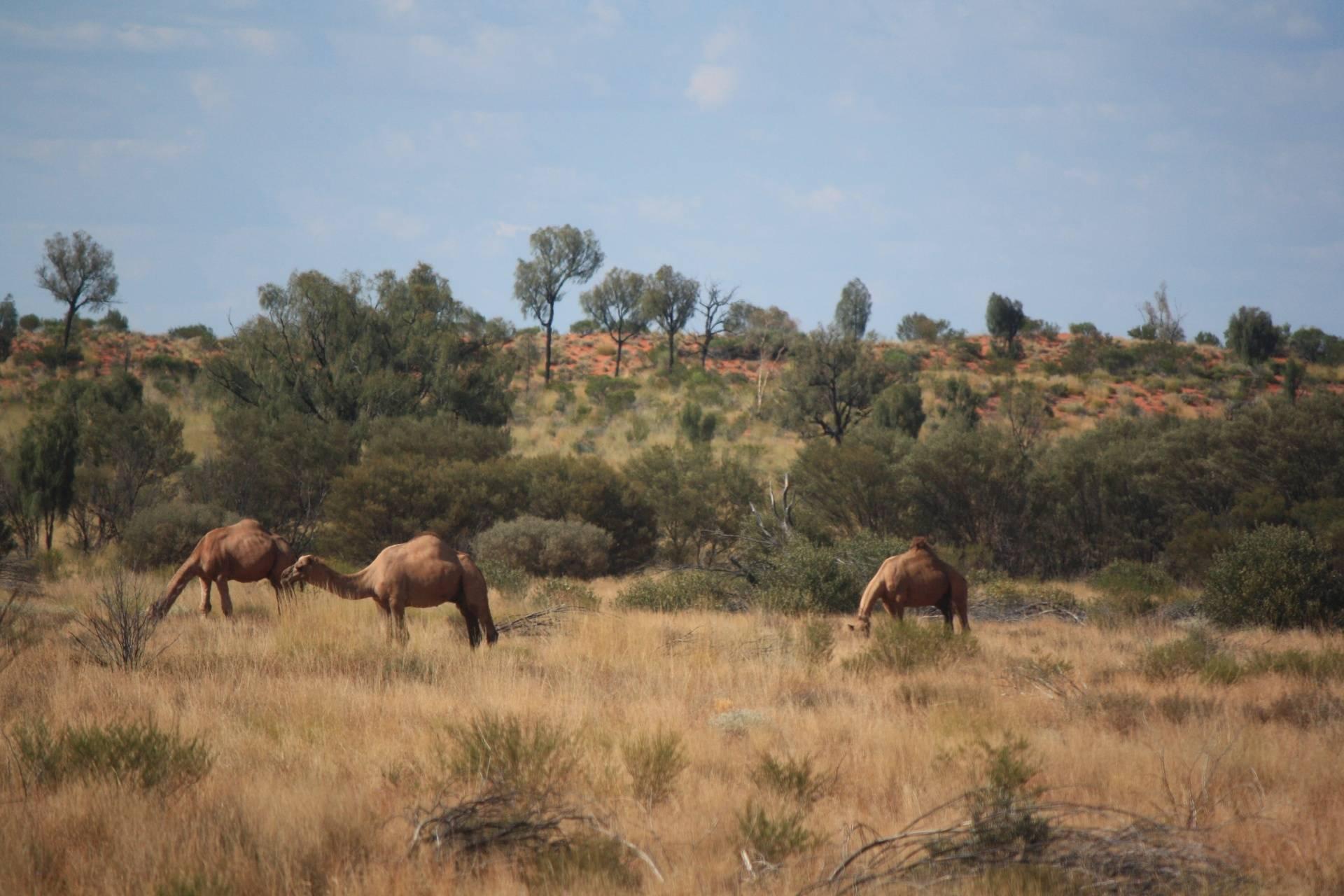Wild camels near Ayers Rock (Uluru)
