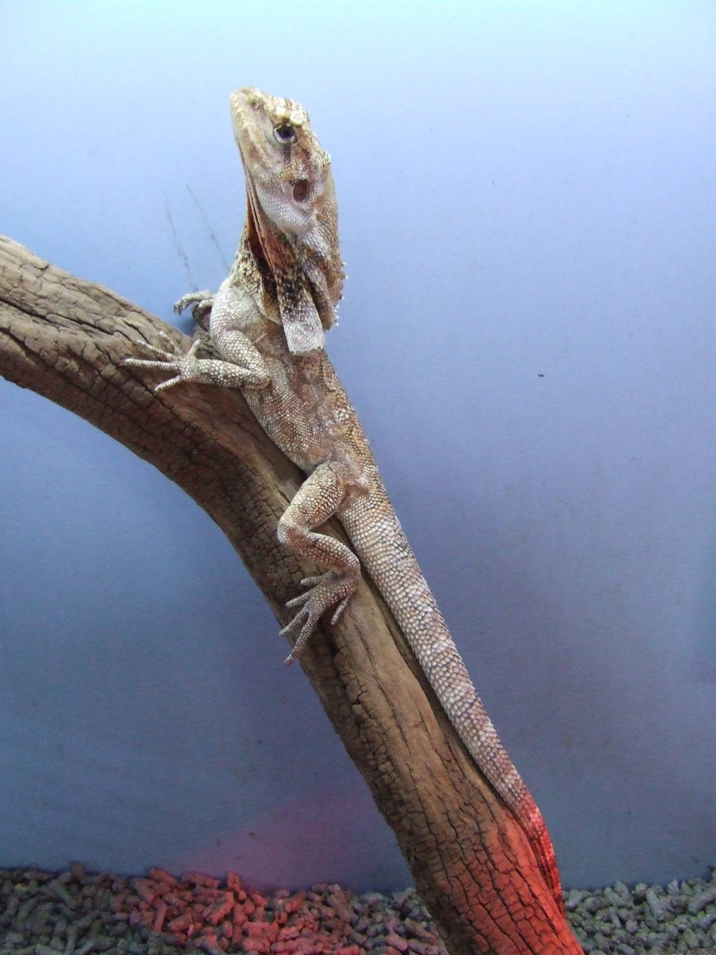 Frilled Neck Dragon NT -Yearling Male