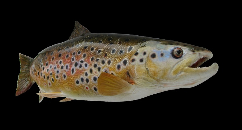 """16"""" Brown trout"""