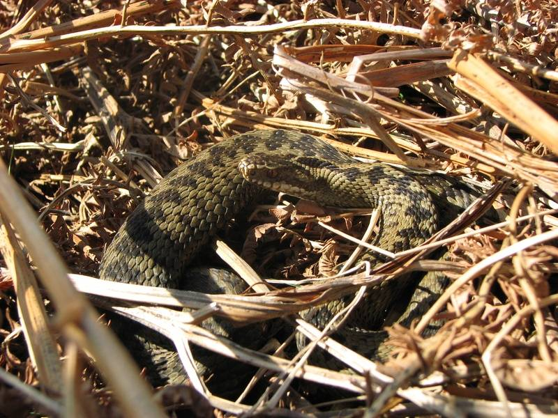 Adder in March 2