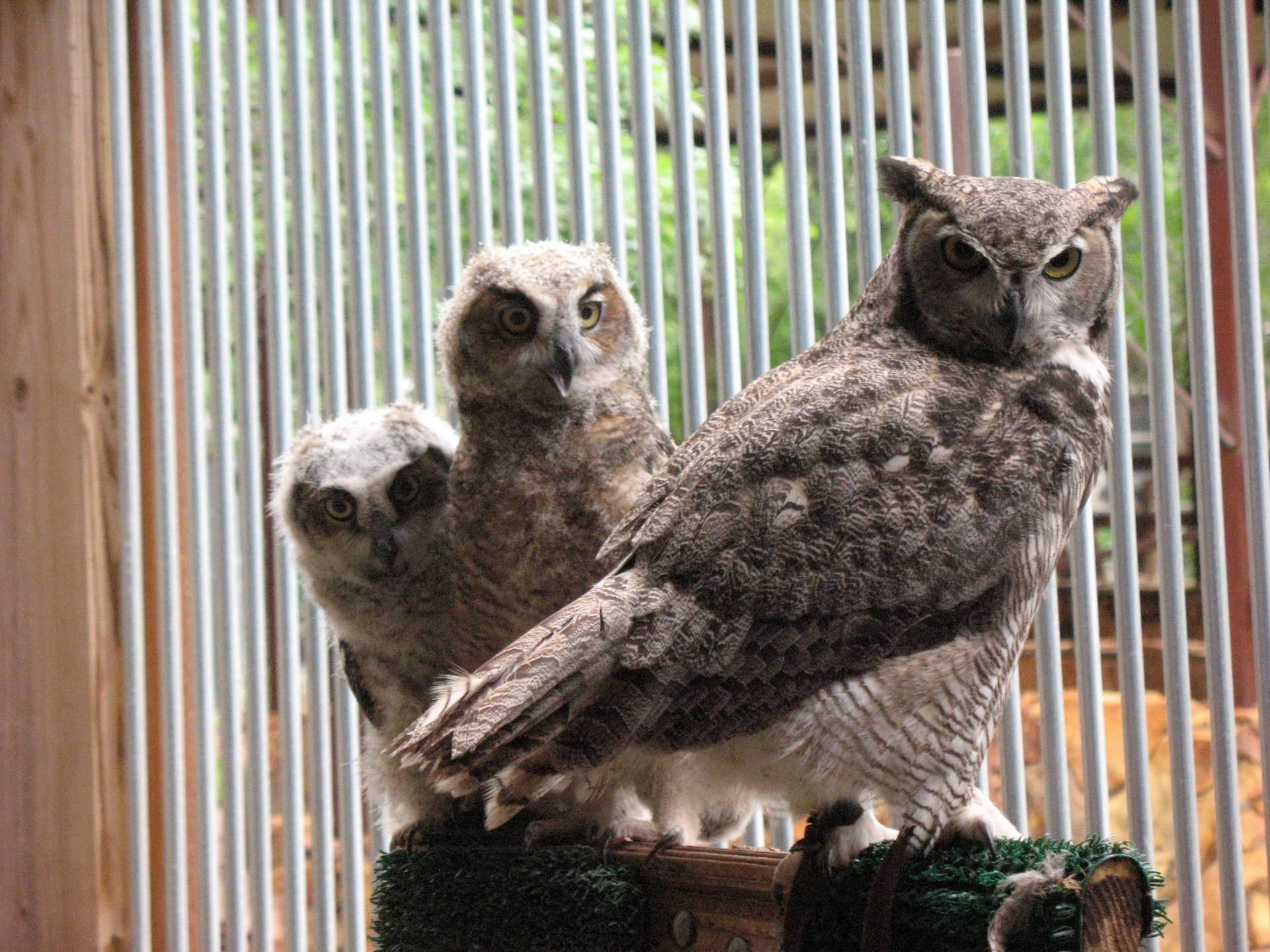 """Great-horned Owl """"Titan"""" and two foster chicks"""
