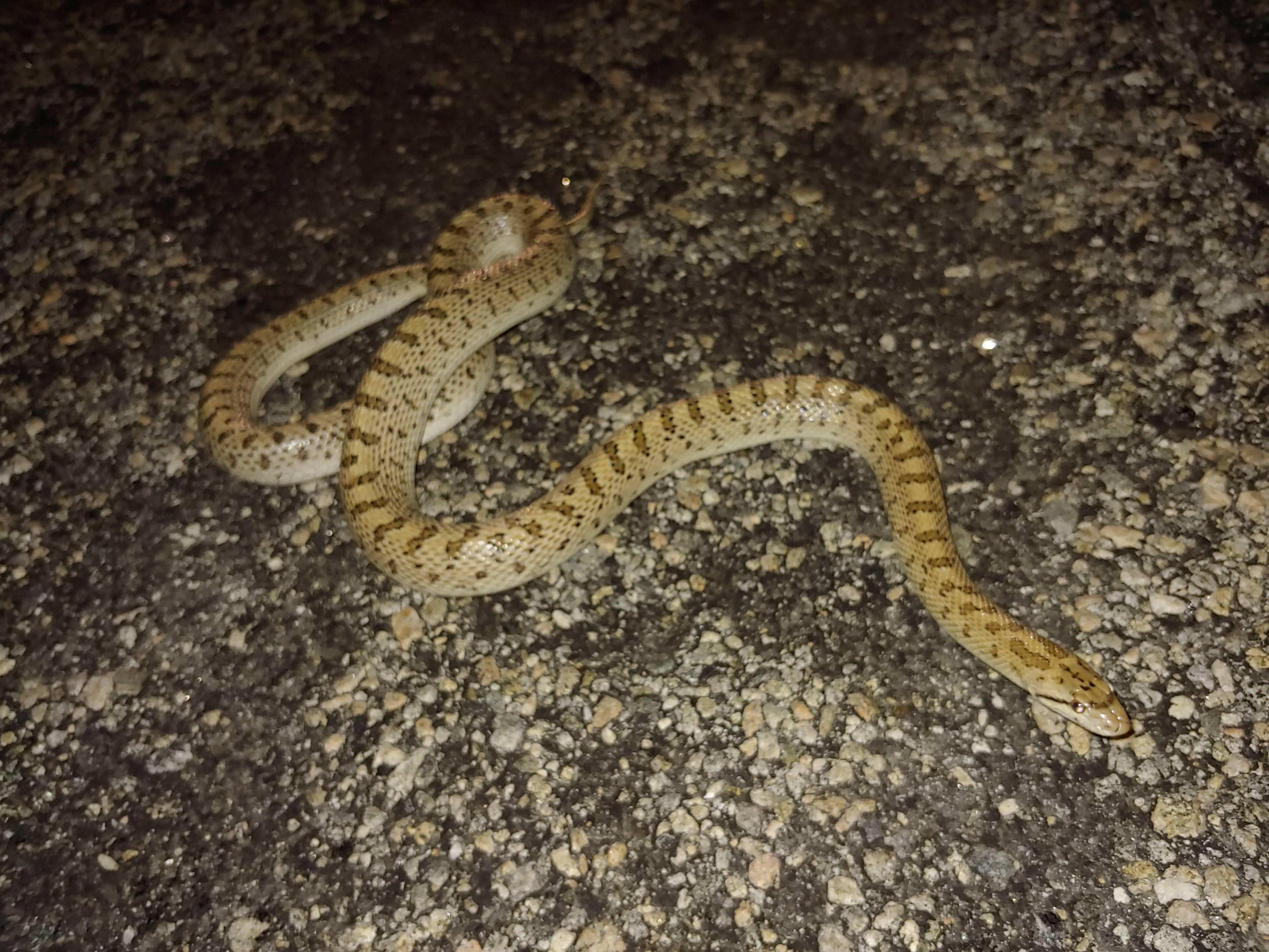 Glossy Snake