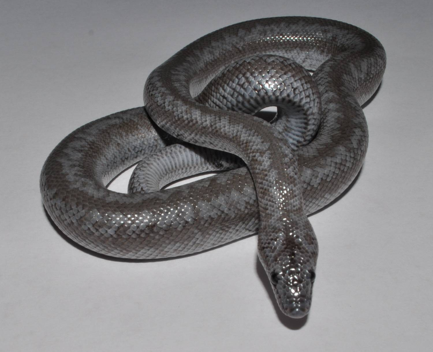 Male Anerythristic Rosy Boa