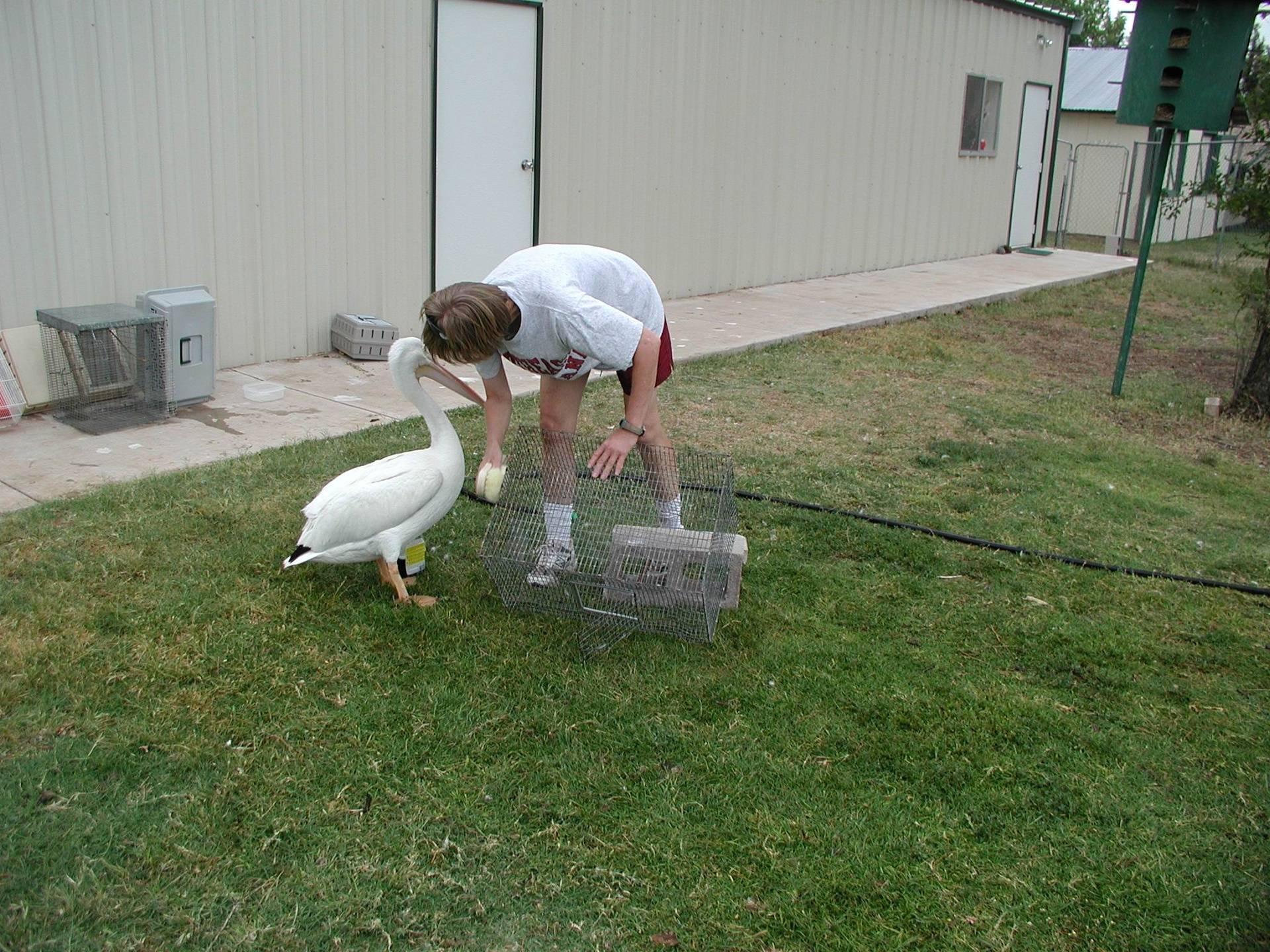 """Percy"" the American White Pelican"