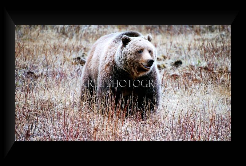 Grizzly foraging for hedasyrum roots