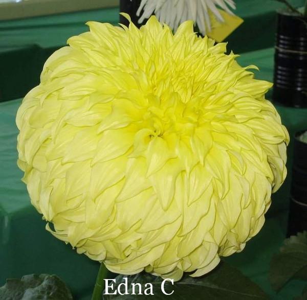 Edna C A FD Y