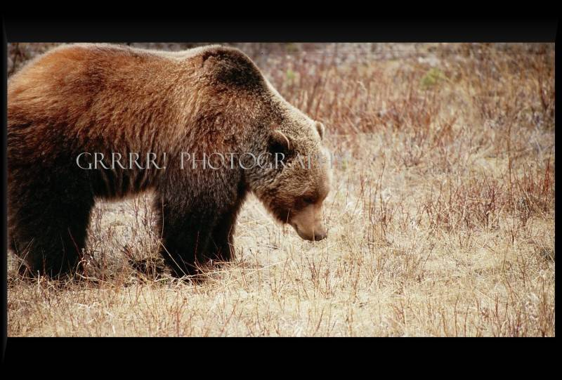 Grizzly searching for food