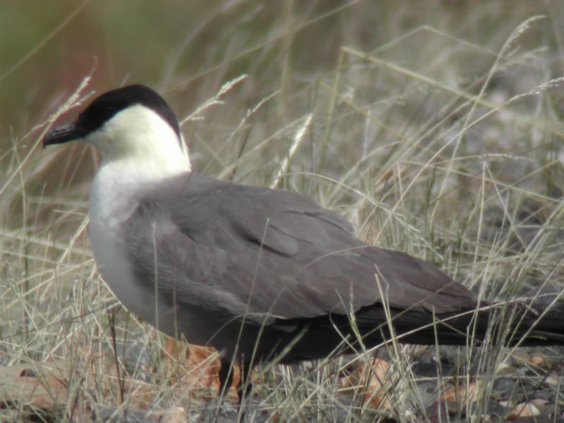 Long-tailed Skua (Labbe à longue queue)