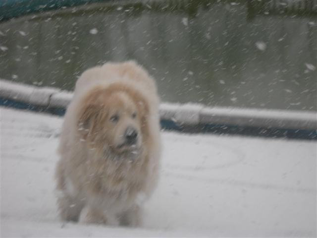 Chopper patroling the pool in the snow