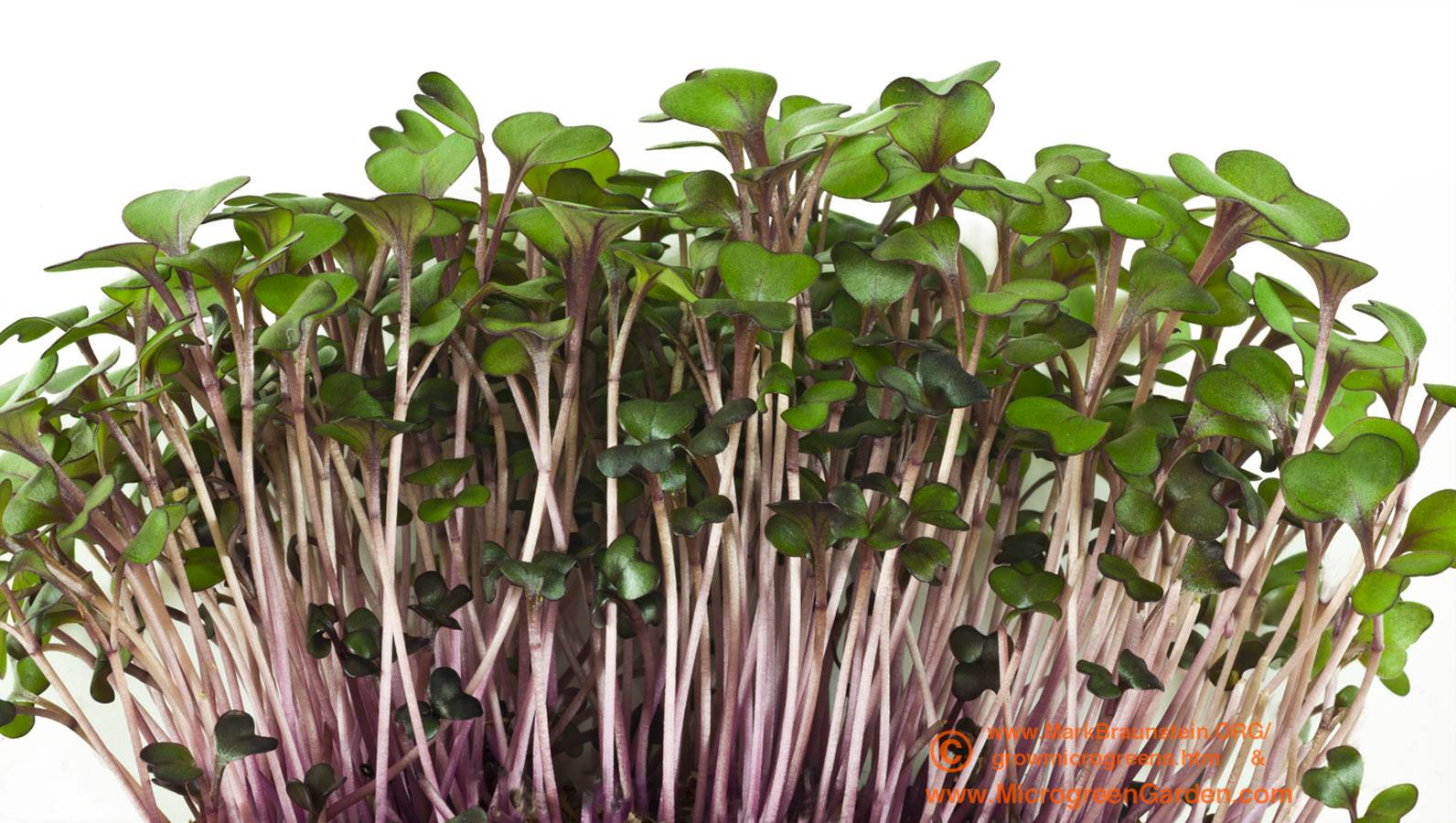 RED CABBAGE microgreens, 2 weeks since sown
