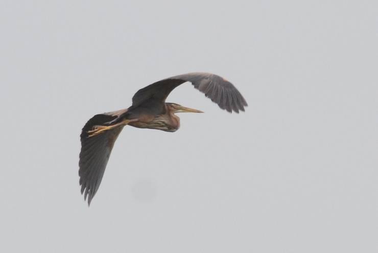 Purple Heron  -  HERON POURPRE