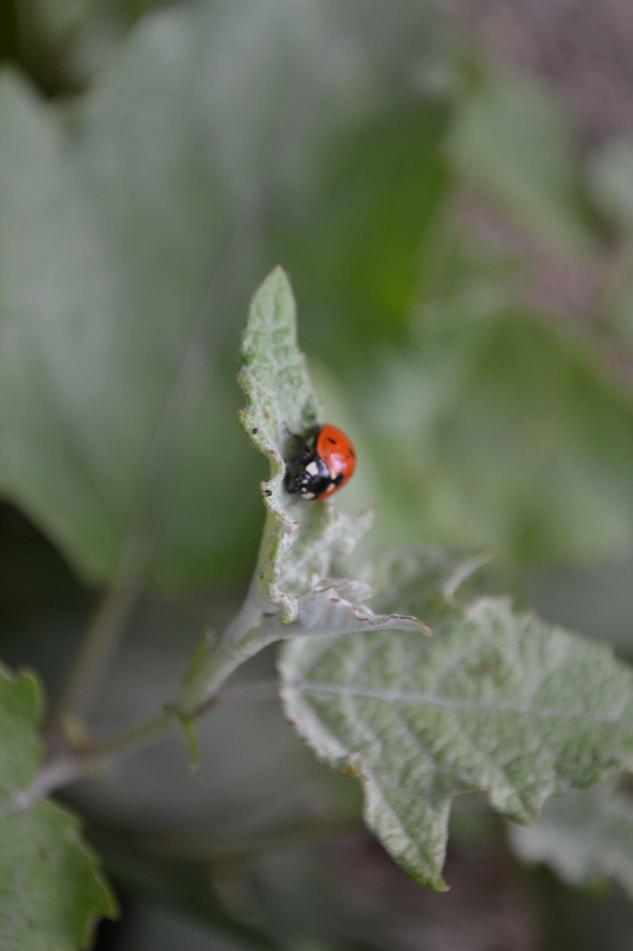 Lady Bug 2