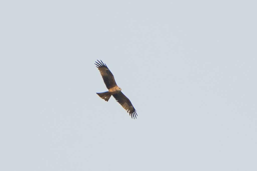 Black Kite (MILAN NOIR)