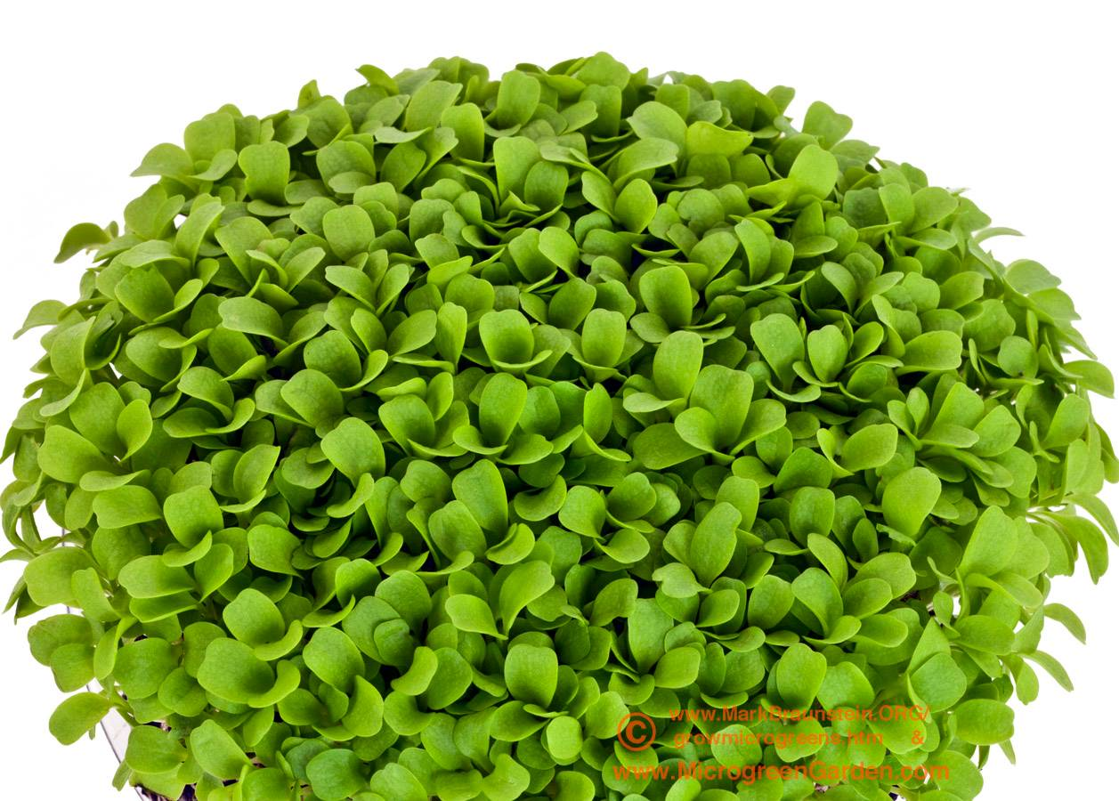 ENDIVE microgreens, 10 days since sown