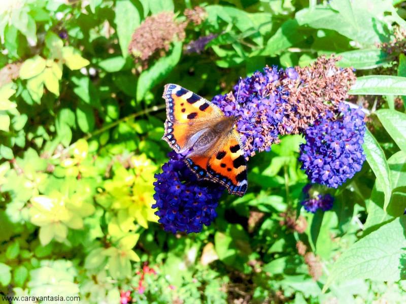 Butterflies on the budlia