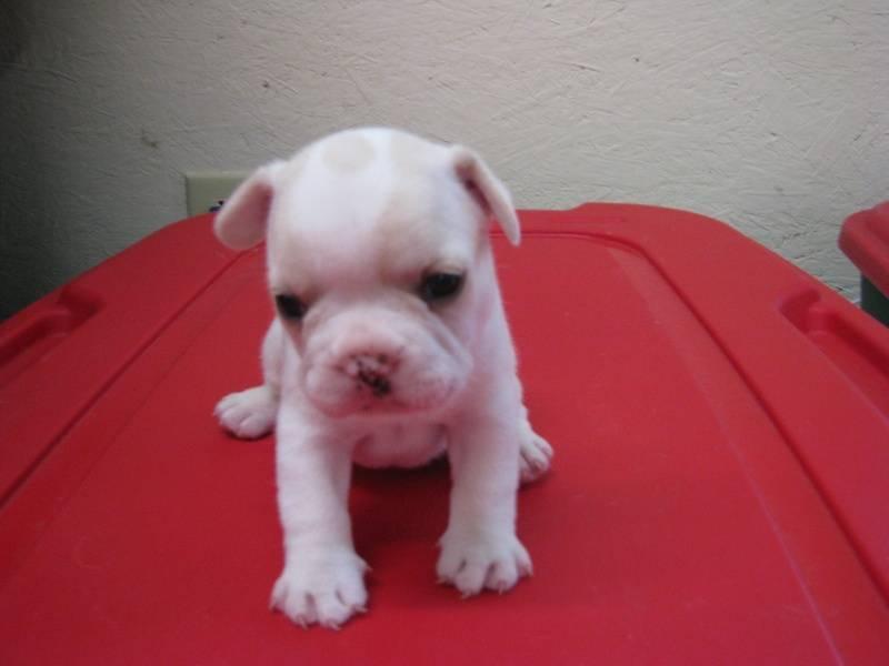Male French Bulldog born 6/2/11