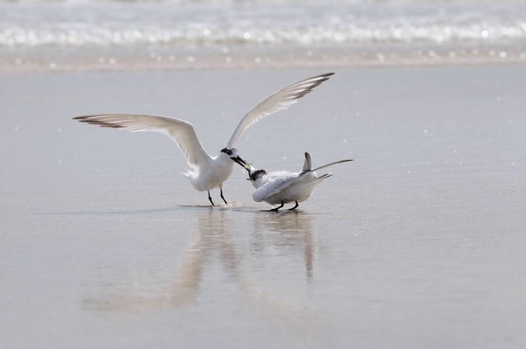 Sternes caugek - Sandwich terns