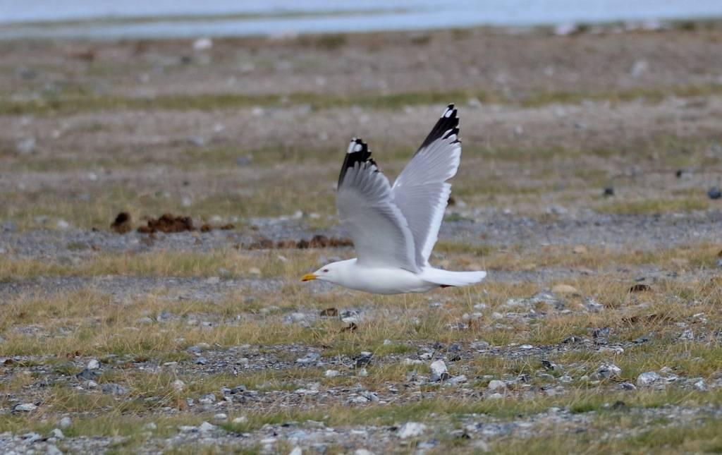 Caspian Gull (mongolius)