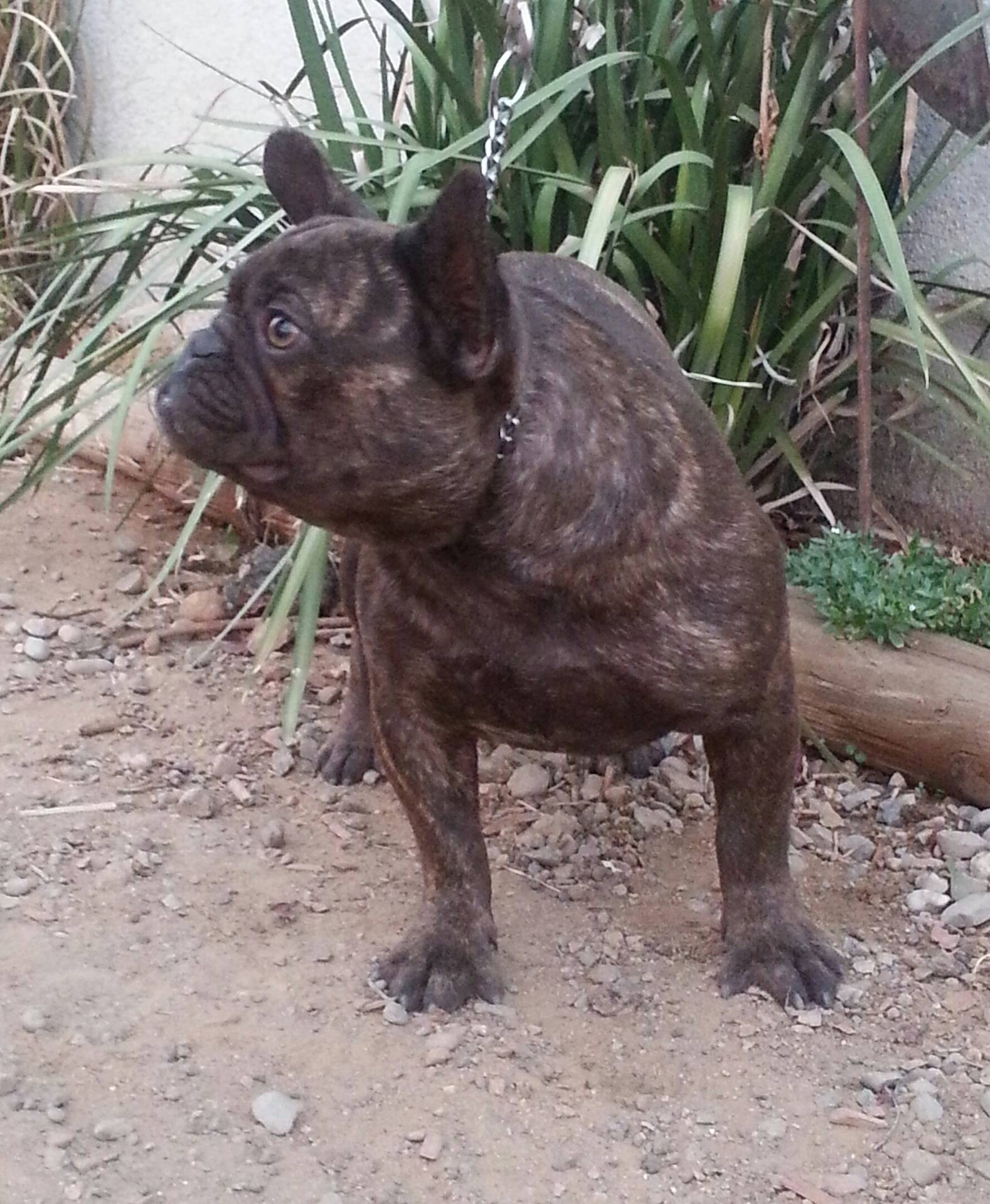 ADF CH BUTTERBALL FOXY BROWN Not Breeding