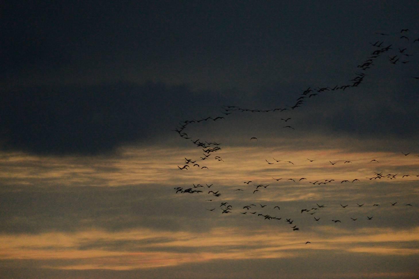 Grues - Cranes
