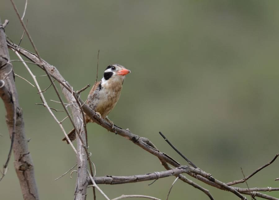 White-eared Puffbird