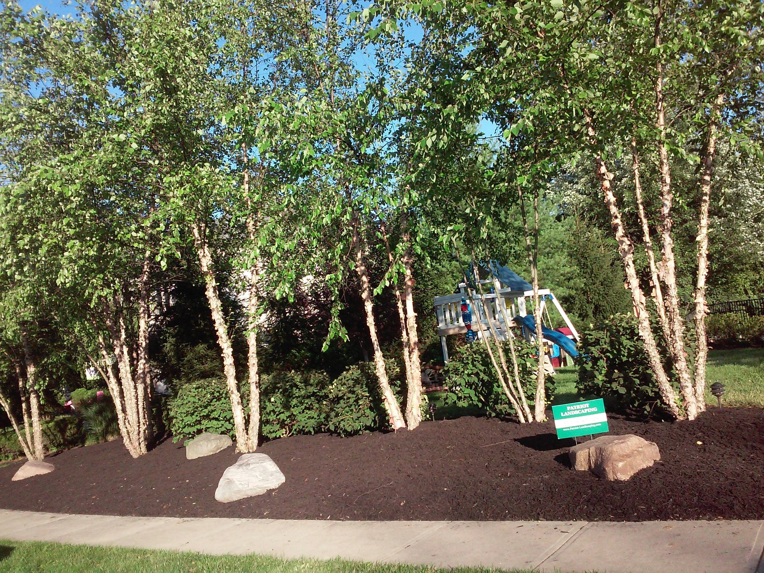 Birch Trees and lots of mulch